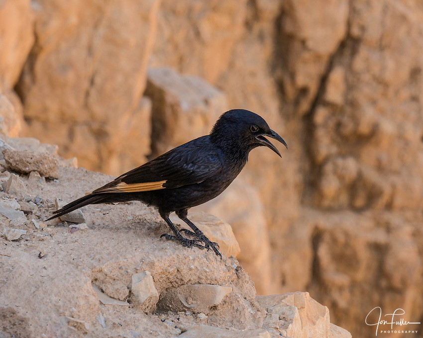 A Tristram's Starling or Tristram's Grackle, Onychognathus tristramii, at the ruins of Masada in Masada National Park in Israel.