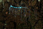Sticky silk threads of bioluminescent Glowworm larvae of Fungus Gnats (Arachnocampa luminosa) hanging from a New Zealand cave roof. Larvae feed on the light-attracted insects that get entangled in the threads.