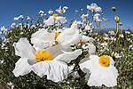 Valley Center, San Diego, California; a field of Matilija Poppies (Romneya trichocalyx) in afternoon sunlight under a cloudless blue sky