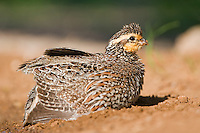 509250061 a wild female northern bobwhite colinus virginianus scratches and rustles the ground for feed in the lower rio grande valley of south texas