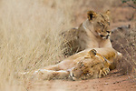 African Lion (Panthera leo) females sleeping, Greater Makalali Private Game Reserve, South Africa