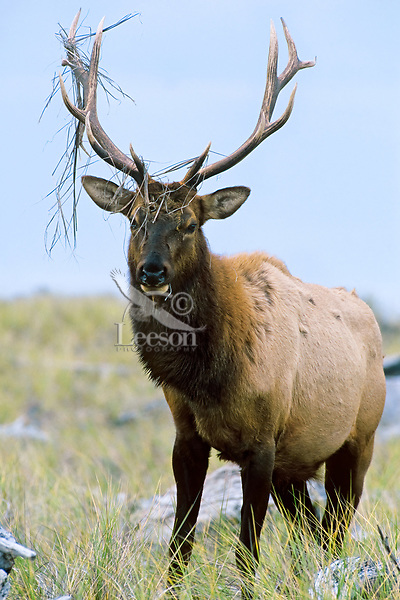 Roosevelt Elk bull with grass hanging from antlers from tearing up ground (rutting behavior: see images # ME707, 708) along Gold Bluffs Beach, Prairie Creek Redwoods State Park, Northern California.  Sept.