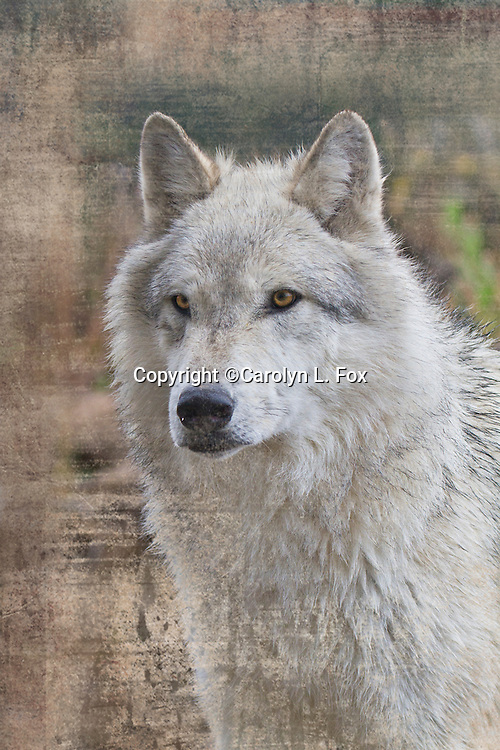 A white timber wolf looks ahead. A timber wolf stands looking ahead.