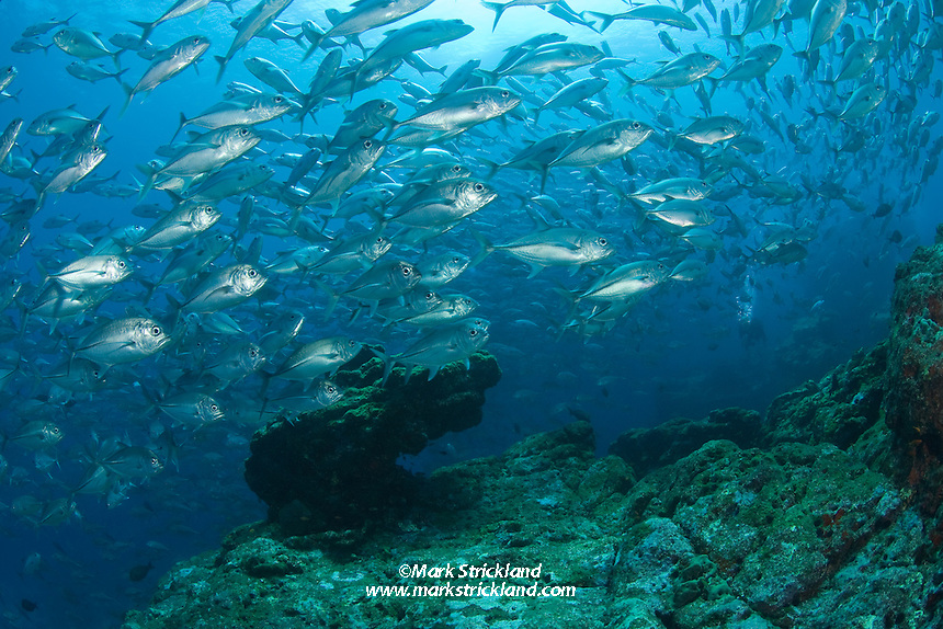 A massive school of Bigeye Trevally, Caranx sexfasciatus, swarms over a submerged pinnacle. Narcondam Island, Andaman Islands, Andaman Sea, India