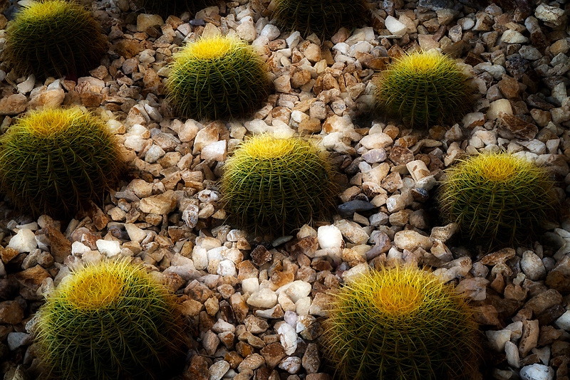 Barrel cactus with landscape rocks. Palm Springs, California