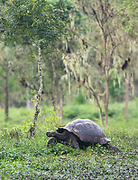 Giant tortoises are slowly making a comeback after nearly being hunted to extinction by early visitors to the islands.