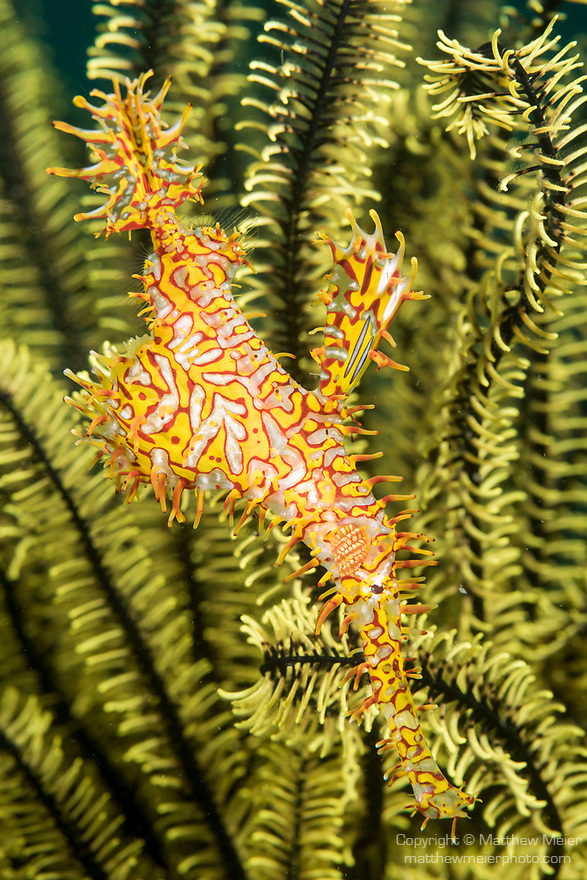 Dumaguete, Dauin, Negros Oriental, Philippines; a yellow and red ornate ghost pipefish swimming amongst a crinoid feather star