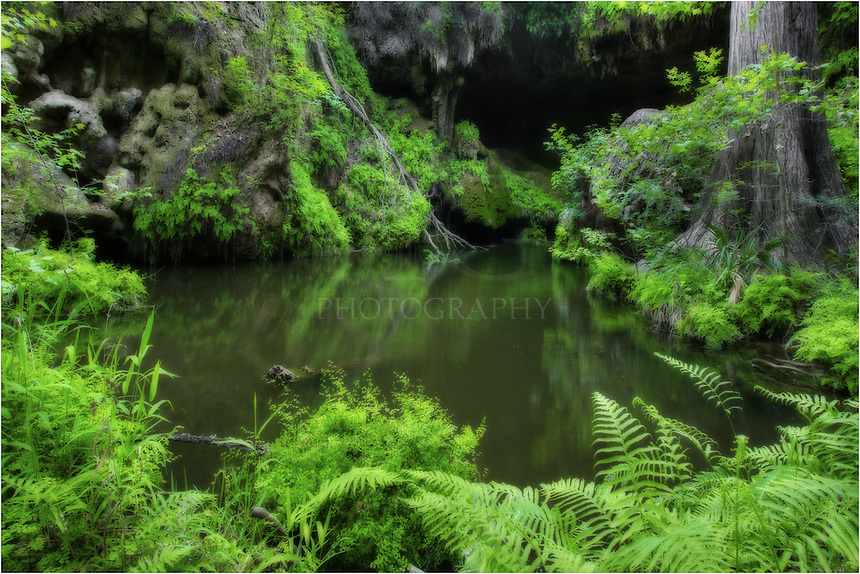 HIdden in the Texas Hill Country, Westcave preserve offers visitors a chance to witness rare plans and 400 year old cypress trees, as well as an overgrowth of green ferns and other plants. Here, at the ende of the grotto, you can enjoy the emerald pool, and you can see the cave behind the pool.