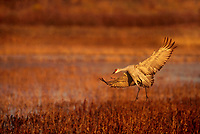 512666390 a wild sandhill crane grus canadensis flares its wings as it prepares to land in a shallow pond filled with tall native dead grasses in bosque del apache national wildlife refuge in new mexico