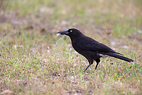 Gray Currawong (Strepera versicolor halmaturina), Kangaroo Island subspecies foraging in the grass on Kangaroo Island, South Australia, Australia.