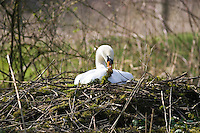 Female mute swan adding moss to her nest, Donnington, Gloucestershire, The Cotswolds, England, United Kingdom