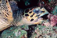 hawksbill sea turtle, Eretmochelys imbricata, feeds under coral ledge, Helengeli, Maldives (Indian Ocean)