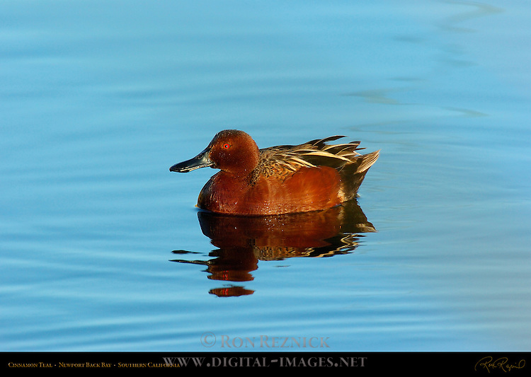 Cinnamon Teal, Male, Drake, Newport Back Bay, Southern California