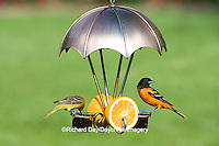 01611-08409 Baltimore Oriole male (Icterus galbula) & Orchard Oriole female (Icterus spurius) on fruit & jelly feeder, Marion Co, IL