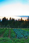 Meriwether's Restaurant is  one of the few restaurants operating their own 5 acre vegetable farm on Skyline Blvd. in NW Portland.  Throughout the 2009 harvest, the restaurant has served over 8000 pounds of Skyline Farm produce.  The setting sun behind Doug Firs and Western Cedar trees.