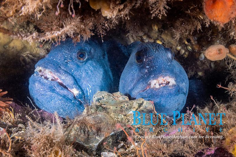 Atlantic Wolffish, (Anarhichas lupus), Gulf of Maine, Eastport, Maine, USA, Atlantic Ocean