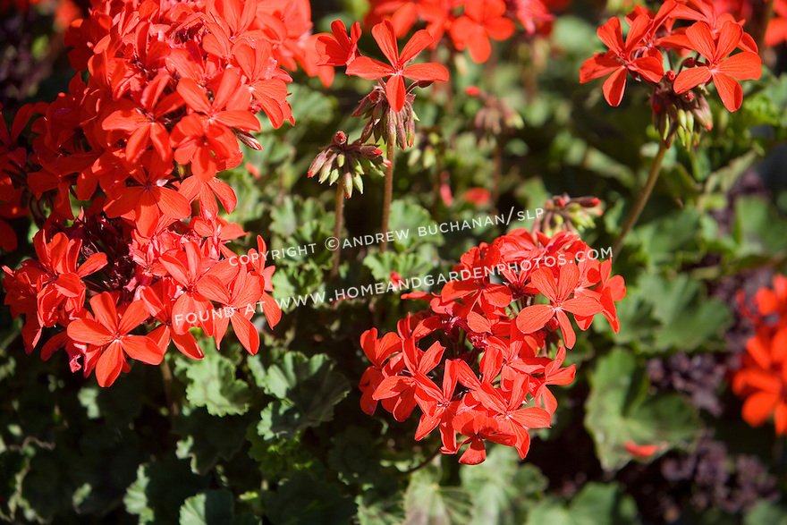 A colorful, tight shallow focus detail of a summer annual, the zonal geranium (Pelargonium) 'Stadbern'  in a mixed container planting.