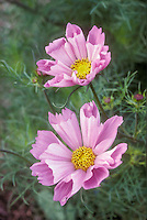 Cosmos 'Sea Shells', rolled petals pink annual flowers with ferny foliage