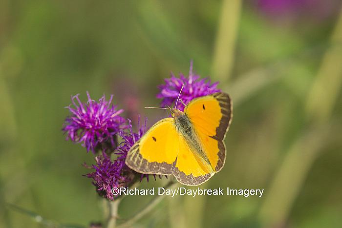 03074-00509 Orange Sulphur Butterfly (Colias eurytheme) on Missouri Ironweed (Veronia missurica), Marion Co., IL