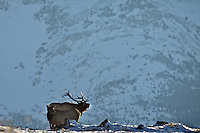 Bugling Bull Elk, Canadian Rockies, Waterton Lakes National Park