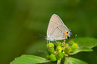 345100004 a wild gray hairstreak strymon melinus perches on a small plant in southeast metropolitan park in austin travis county texas