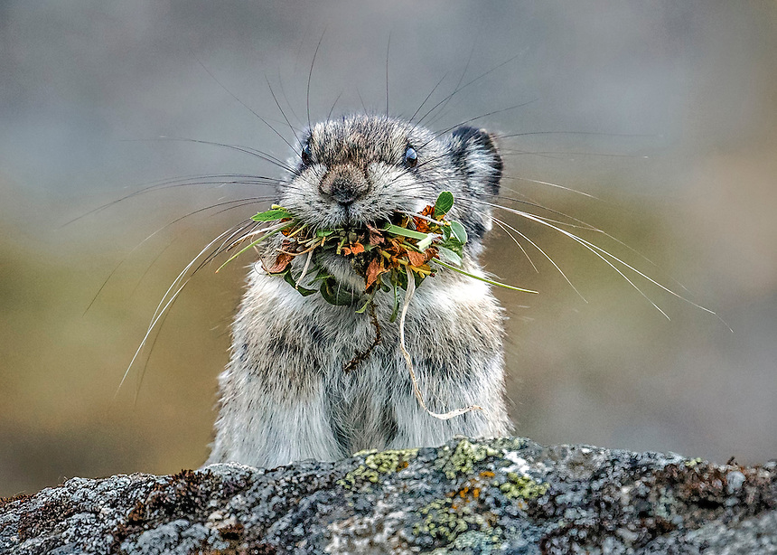 Alaska.  Collared Pika pausing on top of a granite boulder with a mouthful of harvested vegetation on the way to the hay pile in Hatcher Pass in August.