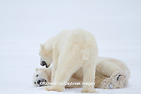 01874-12608 Two Polar bears (Ursus maritimus) sparring in winter, Churchill Wildlife Management Area, Churchill, MB Canada
