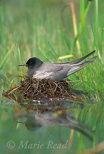 Black Tern (Chlidonias niger ) incubating on its nest, Lakeview Wildlife Management Area, New York, USA<br /> Slide # B60-250