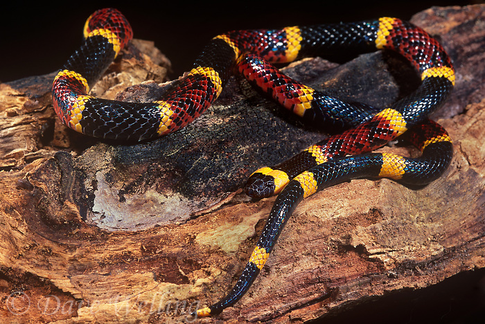 414420002 a captive texas coral snake micrurus fulvius lays coiled on a rotten log - species is native to texas and surrounding states and is listed as a threatened species