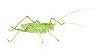 Oak Bush-cricket - Meconema thalassinium - female