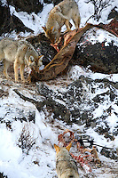 Though coyotes (Canis latrans) have been observed to travel in large groups, in Yellowstone they primarily hunt in pairs.  Coyote packs are generally smaller than wolf packs, and associations between individuals are less stable. <br />