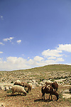 Judea, Southern Hebron Mountain, a flock of sheep in the vicinity of biblical Carmel