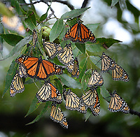 Monarch Butterflies, San Angelo State Park, Texas
