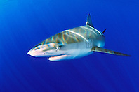 Galapagos shark, .Carcharhinus galapagensis, .North Shore, Oahu, Hawaii (Pacific)