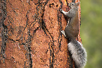Abert's Squirrel or tassel-eared squirrel (Sciurus aberti) on side of old growth ponderosa pine tree.  South rim of Grand Canyon, Arizona.