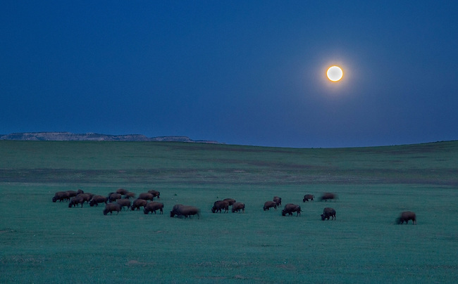 Bison graze in a pasture in Southern Utah under a full moon.