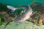 Spiny dogfish (Squalus acanthias) Quadra Island, British Columbia, Pacific Ocean.