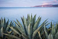 Agave americana overlooking Prisoners Harbor from Pelican Bay, Santa Cruz Island, Channel Islands National Park, California