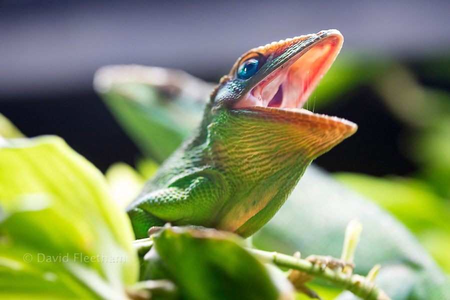 The Knight anole, Anolis equestris, is a species of lizard in the Polychrotidae family, and the largest species of anole. Other common names include Cuban knight anole. This example is a captive specimen.