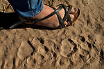 African Lion (Panthera leo) biologist, Xia Stevens, next to male tracks, Kafue National Park, Zambia