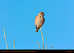 American Kestrel Female, fluffed to ward off the cold, Bosque del Apache Wildlife Refuge, New Mexico