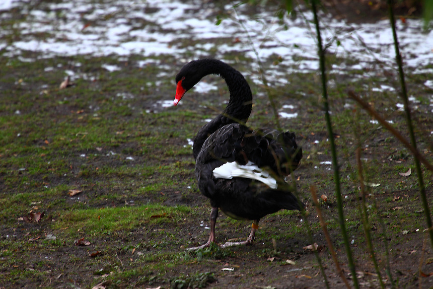 In a cold winter day, a black swan (Cygnus atratus), with its standing out red beak. It appears unused to snow.<br />