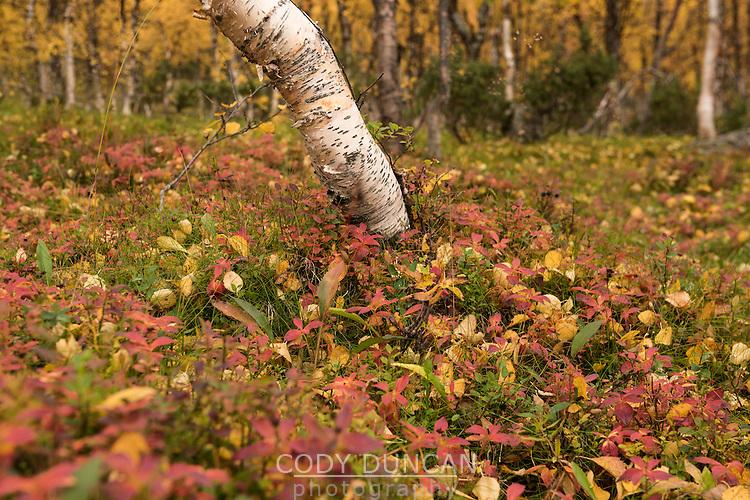 Bright colors of autumn birch forest in Vindelfjällen nature reserve, Kungsleden trail, Lapland, Sweden