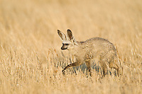 Bat-eared fox walking through yellow grass