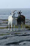 chèvre sur roche calcaire d'Inishmore (ouest de l'île).goats on the limestone of the west coast of Inishmore