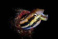 Fang blenny showing the fangs in the Lembeh Strait / Indonesia / Sulawesi