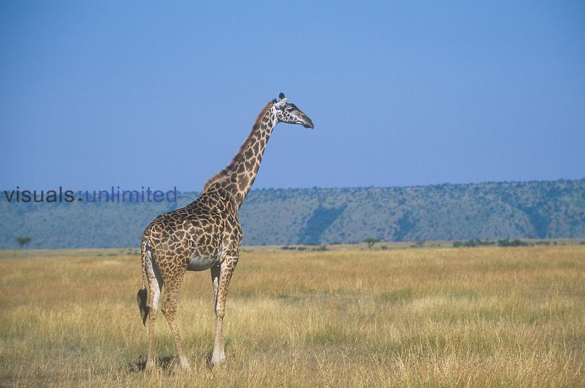 Masai Giraffe on the savanna ,Giraffa camelopardalis,, Masai Mara, Kenya, Africa.