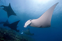 Manta Slope, Raja Ampat, West Papua, Indonesia, December 2010. Black and white Manta Rays glide through the water and hover over the cleaning station where little cleaner wrasse clean them of parasites. Raja Ampat is one of the best places in the world to see the Mantas and the only place where black mantas are spotted.  Photo by Frits Meyst/Adventure4ever.com