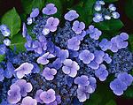 Vashon Island, WA<br /> Detail of blue blossoms of lacecap Hydrangea (Hydrangea macrophylla)