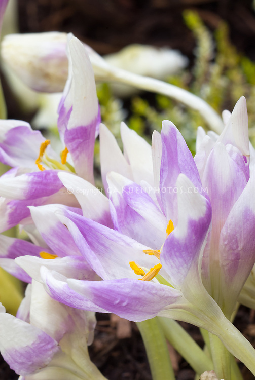 Colchicum 'Harlequin' autumn flowering bulb